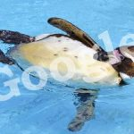 """This is a picture of a Penguin symbolizing a recent update of Google's algorithm codenamed """"Penguin."""""""